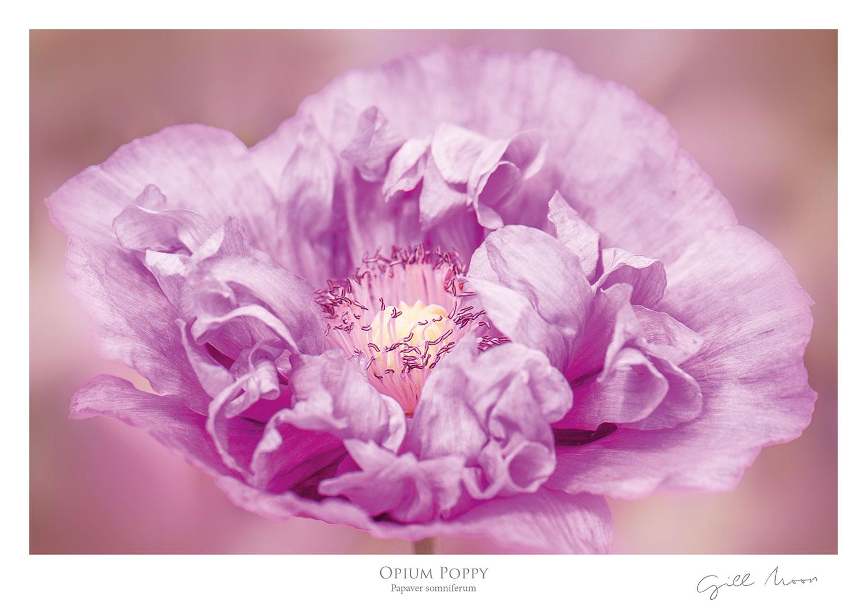 gill moon opium poppy