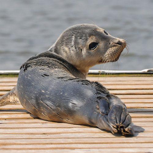 Sea Pup, Aldeburgh