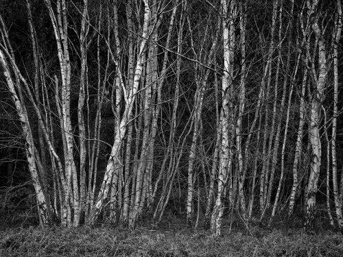 Silver Birch by Tim Stott